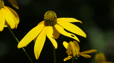 margarida : Steady, close up shot of yellow black-eyed Susan flowers in a garden