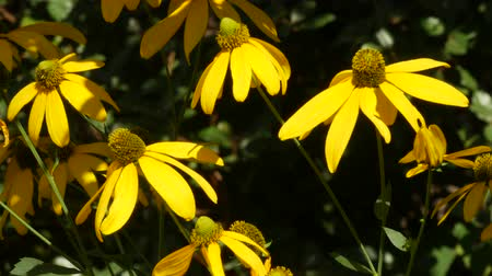 margarida : Steady, close up shot of yellow black-eyed Susan flowers gently swaying in the breeze.