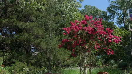 Tree loaded with hot pink and red blooming flowers