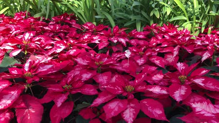 Bed of red poinsettia flowers swaying in the breeze in a garden Стоковые видеозаписи