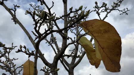 geçen : Upward shot of the last few leaves of a magnolia tree left in autumn
