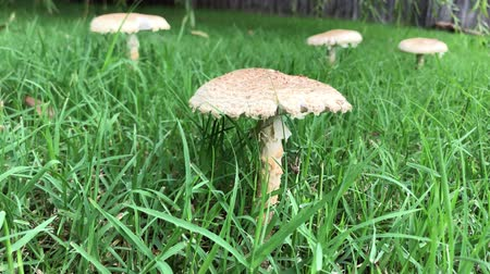 mossy : Wide shot of a mushrooms growing in a green, grassy area Stock Footage