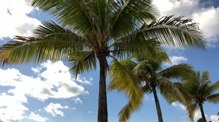 Coconut trees with the leaves swaying in the breeze, upward shot