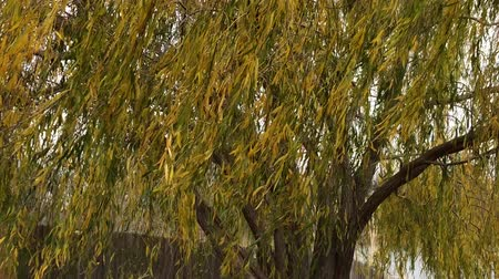 Upward shot of yellow-green leaves of a willow tree swaying madly in the wind Wideo