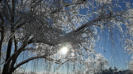 upward : Streaks of sunlight streaming through snow and ice-covered twigs, upward shot