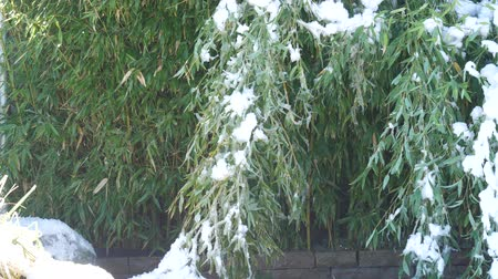 geleira : Winter morning shot with fresh snow on the ground, with bamboo stalks bent to the ground