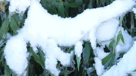 Steady, close up shot of snow on top of bamboo leaves