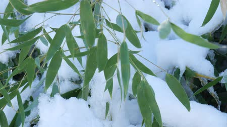 Steady medium close up shot of bamboo leaves with freshly fallen snow