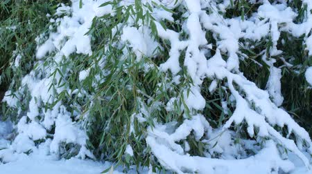 Steady shot of a patch of bamboo stalks bent to the ground, with fresh snow