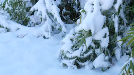 Steady shot of bamboo leaves covered with snow Wideo