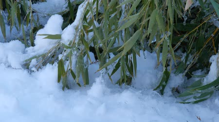 Steady, medium close up shot of bamboo leaves covered with snow