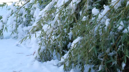 Steady shot of bamboo leaves bent to the ground and covered with snow