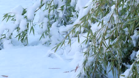 Steady shot of fresh fallen snow covering a patch of bamboo leaves