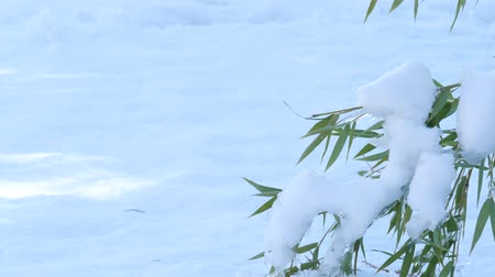 ohnutý : Fresh snow on the ground with the top of a bamboo stalk bent to the ground Dostupné videozáznamy