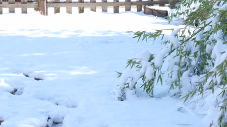 ohnutý : Snow-covered ground with the top of a bamboo stalk bent with the weight of the snow