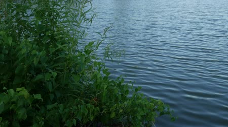 Green shrubs swaying with the breeze on a lakeside Wideo