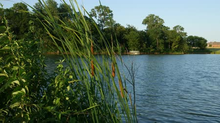 catástrofe : Cattails or hotdog plants swaying gently in the breeze by the lake