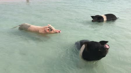 Three pigs swimming in the ocean in the Bahamas, one of the top attractions at the Exuma Cays