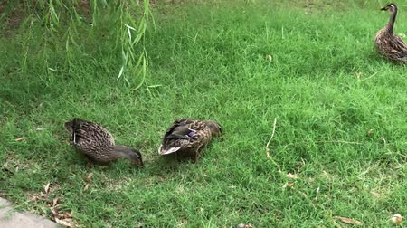 家禽 : Ducks scouring for food in a green grassy area 動画素材
