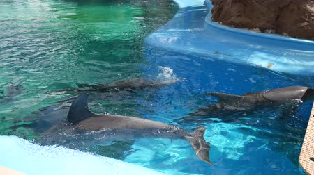 Handheld shot of three bottle-nose dolphins swimming in a training pool