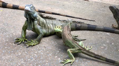 игуана : Handheld downward shot of iguanas in the ground Стоковые видеозаписи