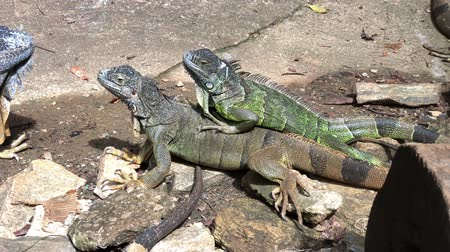 Medium wide, handheld shot of iguanas in the ground Wideo