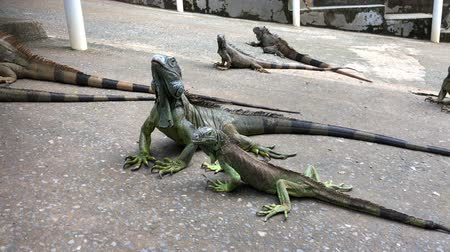 は虫類 : Wide handheld shot of iguanas in the ground 動画素材