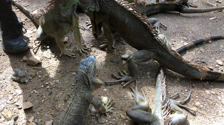 Handheld shot of iguanas eating leaves from a mans hand Стоковые видеозаписи