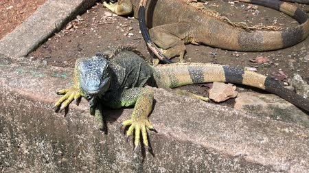 kameleon : Handheld shot of iguanas sunning in the ground Stockvideo