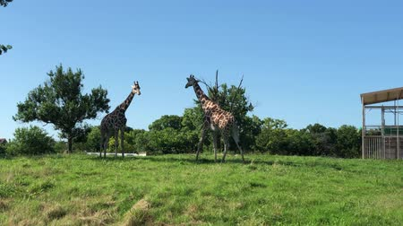 necked : Handheld wide shot of two giraffes outdoors