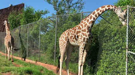 spots : Handheld shot of two giraffes outdoors, with one eating leaves from the other side of the fence