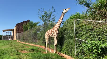 necked : Handheld shot of a giraffe eating leaves from the top of a wire fence
