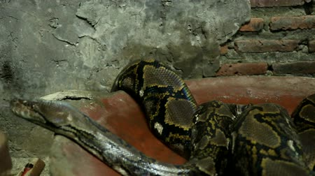 Beautiful nature scene ball python snake (Python Regius) on dark room. Showing of eyes and face detail. Big snake Wideo