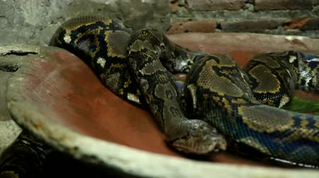 boa : Beautiful nature scene ball python snake (Python Regius) on dark room. Showing of eyes and face detail. Big snake Stock Footage