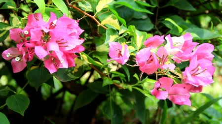 magenta flowers : Paper flowers or bougainvillea are popular ornamental plants.  Its beauty comes from the sheath of brightly colored flowers and attracts attention because it grows with lush Stock Footage