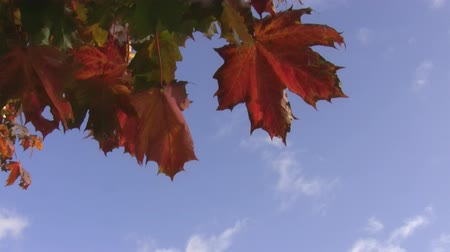 red maple : Autumn.Orange, red, yellow and green leaves swinging in the blue sky