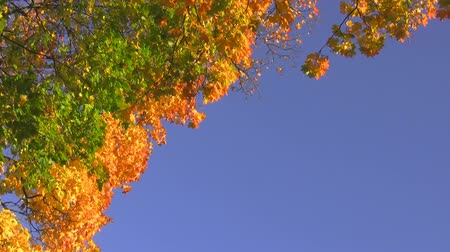 equinox : Swinging maple branches with green yellow and orange leaves against the blue clear sky