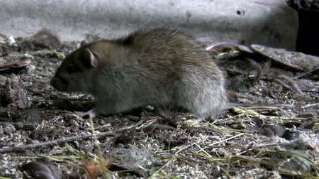 septic : Rat on the filthy farm ground looking for food, sniffing leaves the scene