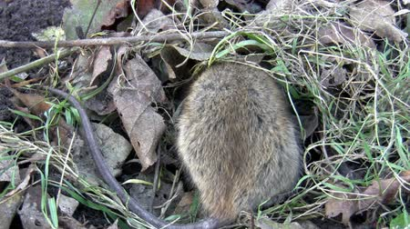 septic : Rat is digging a hole and trying to hide under dried leaves