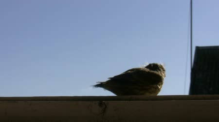 csaj : Little bird sitting on the window sill against blue sky flies away