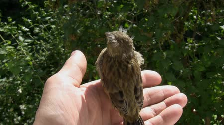 young sparrow : A hand above green bushes holding a chick bird which is sitting firmly and is shy to fly