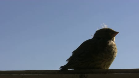 young sparrow : Little baby bird is sitting on a windowsill against blue sky and turning its head Stock Footage