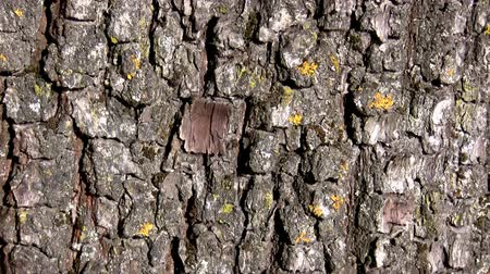 havlama : Camera moves up old tree bark showing its rich texture Stok Video