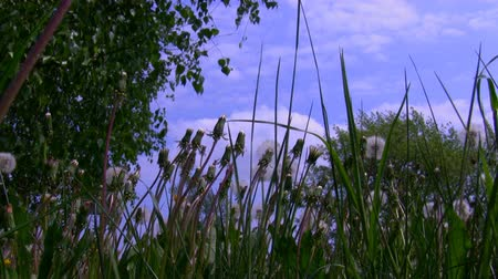 esinti : Ground level shot of green grass with dry dandelion seeds blown by wind Stok Video