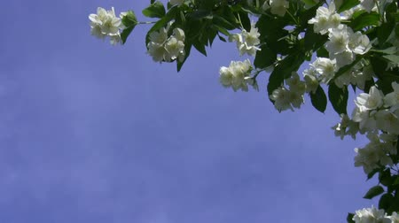 aromaterapia : White flowers and green leaves of jasmine swinging in light breeze taking top right corner and leaving plenty of blue copyspace