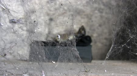 могила : Scary decomposed corpse of animal behind spiderweb curtain in its burial tomb