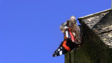 elusive : Red admiral Vanessa atalanta butterfly defecated while resting on the piece of wood against blue sky