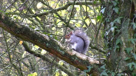 žalud : Grey gray squirrel feeding in its natural habitat on the tree branch Dostupné videozáznamy