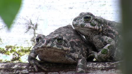anura : Close up of two toads very close to each other hiding on the farm ground in their natural habitat. Stock Footage