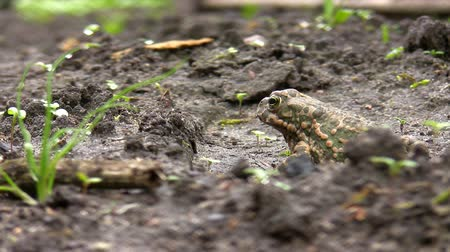 anura : Single European common toad is sitting on the ground observing environment and then suddenly jumps out of the frame.